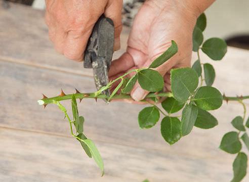 Черенкование роз: методы заготовки и особенности хранения черенков